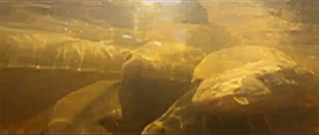 sturgeonvideocapture