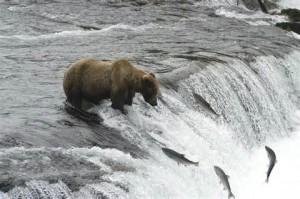 Bear and salmon in AK
