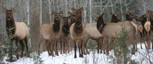 elk in WI-Elk-Country