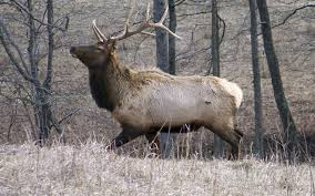 elk in Wisconsin