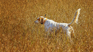 HBGD_dog_in_field_2