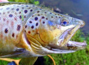 Len Harris trout