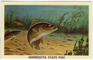 walleye-mn-state-fish-mn-historical-society